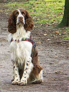 English-springer-spaniel-picture