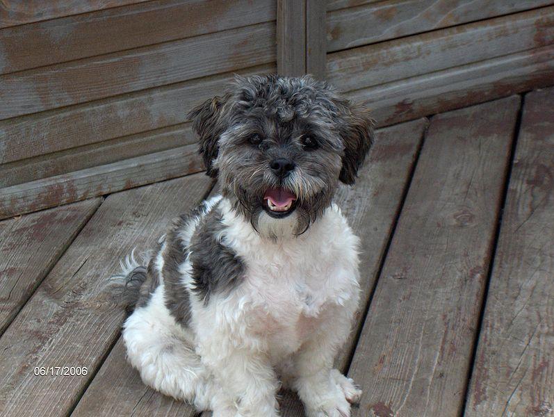 Pugapoo Dog Wiki Fandom Powered By Wikia