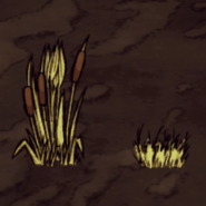 Reeds Harvested
