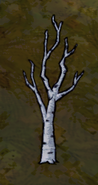 Birchnut bare