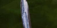 Cruel Dagger (Inquisition)