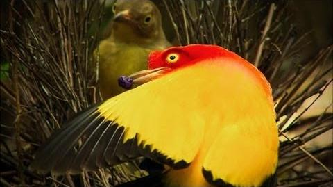 Dancers on Fire - The Sultry Dance of the Bowerbird