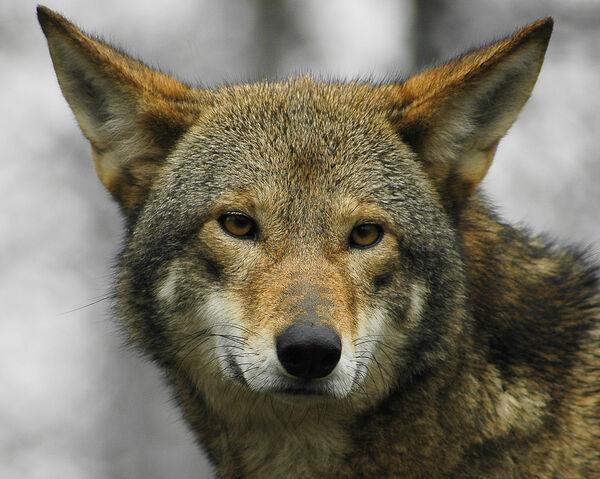 File:Red wolf.jpg