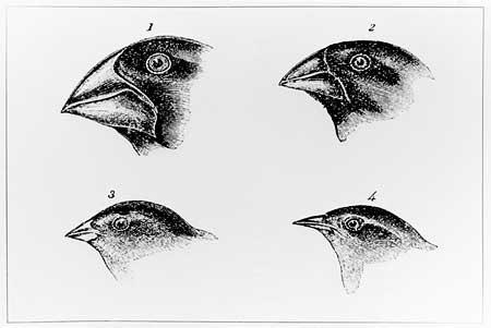 File:Darwinsfinches.jpg