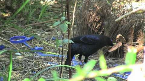 Courtship display of the Satin Bowerbird