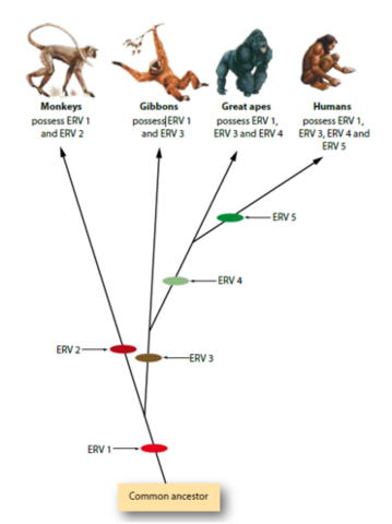 File:Endogenous Retrovirus possession in primates.png