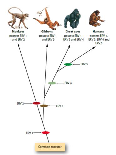 Endogenous Retrovirus possession in primates