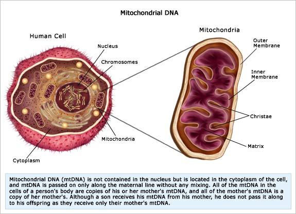 MitochondrialDNA