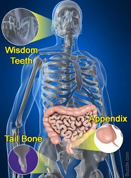 File:Human-body-mysteries-vestigial-organs.jpg
