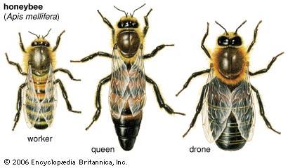 File:Astes of bees.jpg