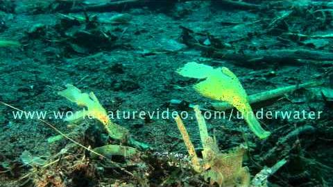Two Seagrass ghost pipe fish close up, Underwater Video Footage 0295
