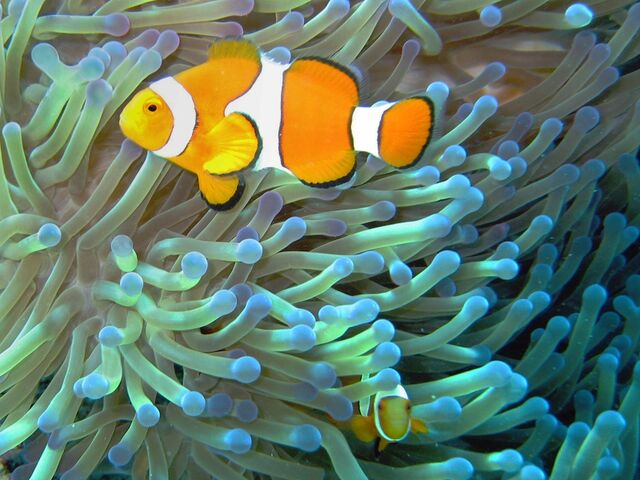 File:Clownfish mutualism.jpg