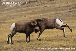 Male-bighorn-sheep-butt-heads-in-competition-for-females