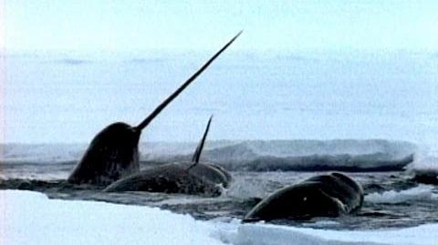 The Narwhal's Mysterious Tusk