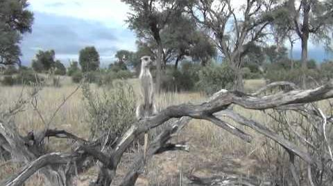 Meerkat predator-scanning behaviour - ALTRUISM