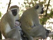 Photo1 Albums Album1 Large PC074783 Vervet monkey with baby11-300x225