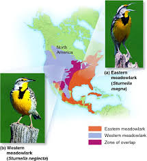 File:Meadowlark.png