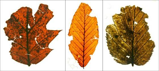 File:Fossil Leaves.jpg