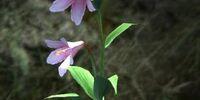 Thornflower
