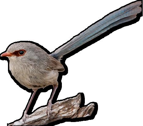 File:Female wren.png