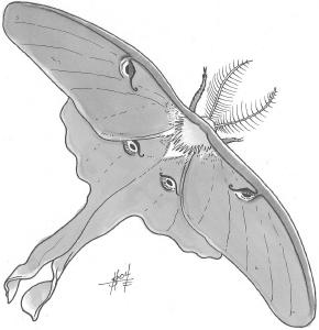 Luna Moth, Giant