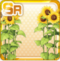 Between The Sunflowers