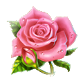 Rose affairs of the heart