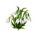Snowdrop plant