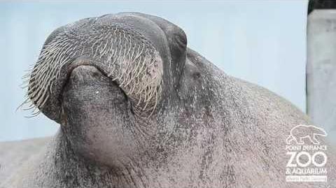 I like walrus-0