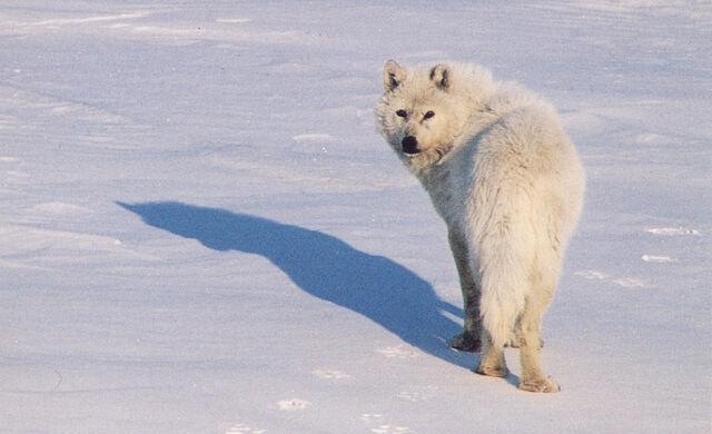 File:Arctic Wolf.jpg
