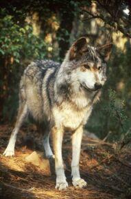 Wolfiewolf2