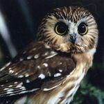 Bagman Family owl