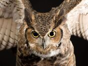 Great-horned-owl 773 600x450