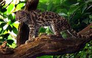 Margaykat Leopardus wiedii
