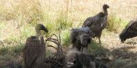 Vulture (4e Monster)