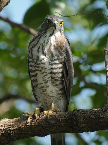 File:Crested Goshawk.jpg