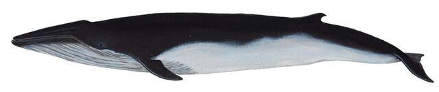 File:1 bryde's whale.jpg