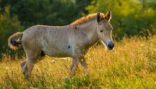 Przewalski-horse-sunset-grassland-820x469