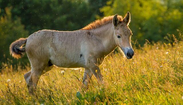 File:Przewalski-horse-sunset-grassland-820x469.jpg