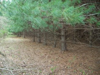 File:THD pinestraw a.jpg