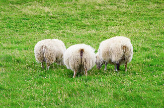 Three Sheeps from behind