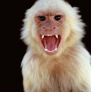 File:Angry-monkey-albino.jpg
