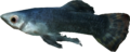 Abecean longfin.png