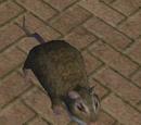 Lazy Rat