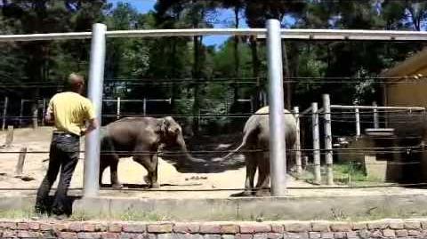 მალკასა და გრანდის პირველი შეხვედრა The first meeting of the elephants Grand & Malka