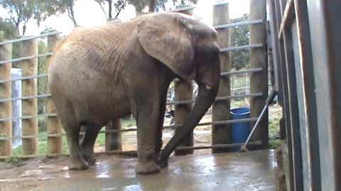 Mila Jumbo African elephant has her daily warm water bath