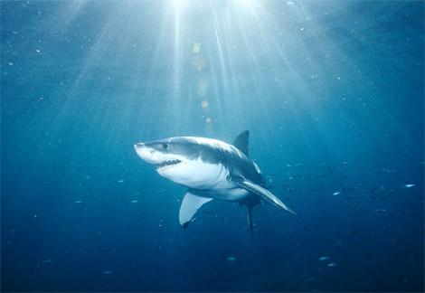 File:Greatwhiteshark.jpg