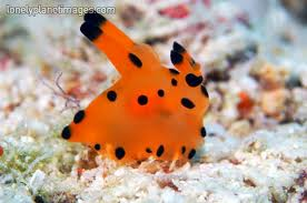 File:Orange sea slug.jpg