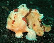 Antennarius maculatus - Clown Frogfish