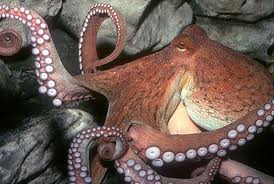 File:Octopus 2.jpg